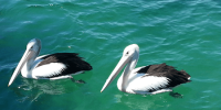 pelicans_clear_vision
